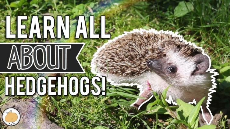 Hedgehog Exploring for 8 Minutes! 🦔 | Pet Hedgehogs