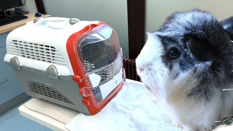 Guinea Pig Vet Visit | Unexpected