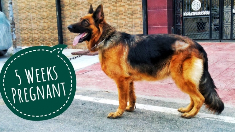 5 Weeks Pregnant German Shepherd(Lizza) | KCI Register Gsd Female Top Quality