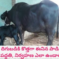 Feeding and Maintenance of Newly Calved Buffaloes and Cows Telugu | Dr. Madankumar Vet
